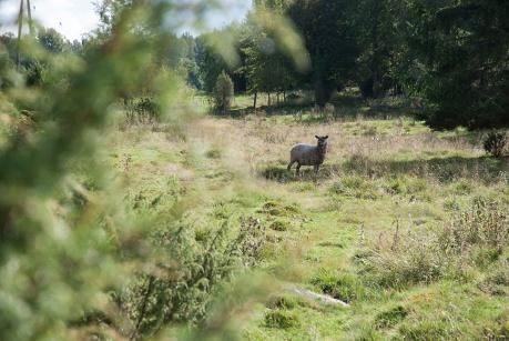 ronnes13_Mikon_lammas